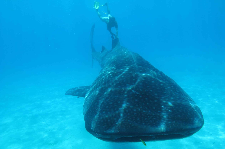 Sur le dos d'un requin baleine