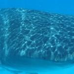 Requin baleine avec le voilier Antisva