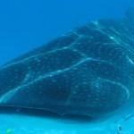 requin baleine et sa dorade à Madagascar