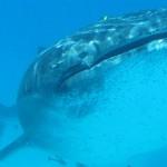 Requin baleine à nosybe avec Antsiva