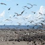 Envol de sternes sur l'île de Lathame en Tanzanie