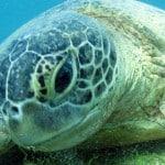 Tortue verte à Mayotte