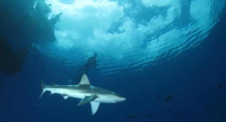 requins à Madagascar