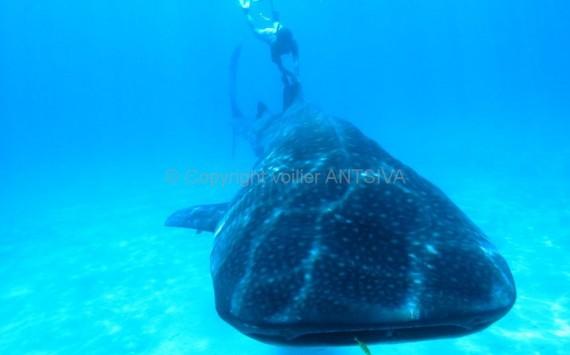 Requins baleine en snorkeling
