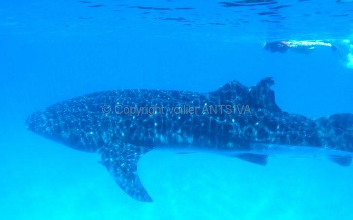 Requins baleines en snorkeling