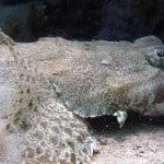 Poisson crocodile en plongée aux île Mitsio