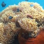 Anémone de mer en plongée au îles Radama