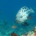 Mérou Tucula aux île Mitsio au Nord de l'île de Nosy Be