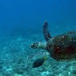 Tortue imbriquée en plongée dans l'océan Indien