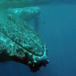 plongée baleines madagascar