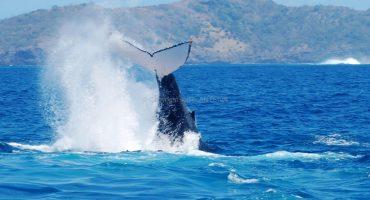 Baleines à bosses à Madagascar