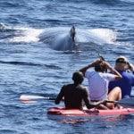 Kayaks d'Antsiva devant une baleine à bosse en croisière à Nosy Be