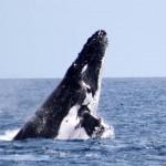 Saut de baleine à Nosy Be