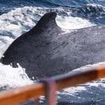 Baleine à bosse frôlant le voilier Antsiva durant une croisière au large de Madagascar