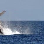 Saut de baleine en safari sur l'île de Nosy Be au Nord de Madagascar