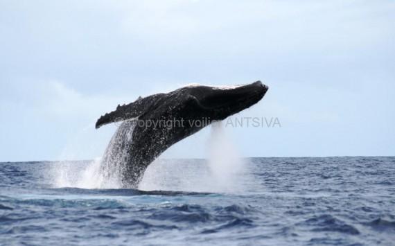 Baleines à bosses à Nosy Be - Madagascar