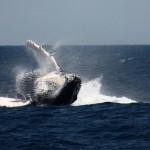 Retombée d'une baleine à bosse à NosyBe