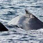 Dos de baleines à Madagascar
