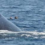 Kayaks avec une baleine à Nosy Be - Madagascar