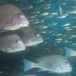 Gaterins en plongée Antsiva