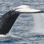 Codale de baleine à bosse en safari à Madagascar