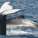 baleines à bosses Madagascar