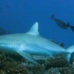 Requin gris au Cap St Sébastien