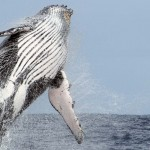 Magnifique saut de baleine à bosse