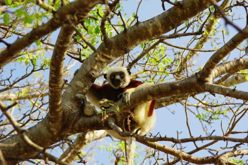 Moramba lémurien